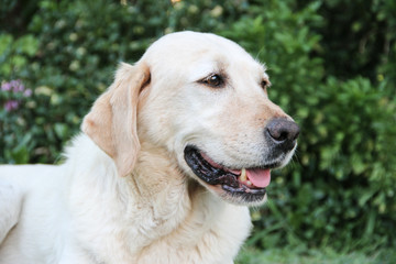 portrait of white labrador dog in the garden
