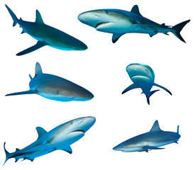 Sharks isolated on white