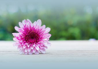 Purple chrysanthemum on a wooden table, green background