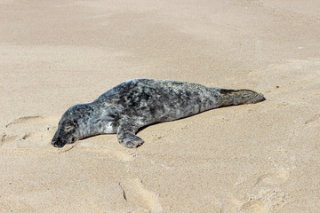 Grey and white harbor seal pup sunning on isolated sandy coastal ocean beach