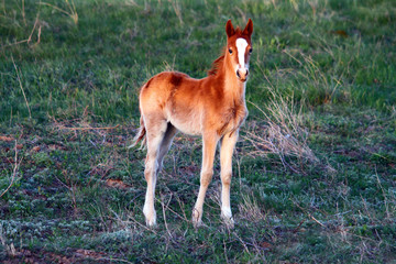 Young cute yellow foal outdoor standing on the grass in steppe