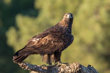 Golden eagle (Aquila chrysaetos), Andalusia, Spain