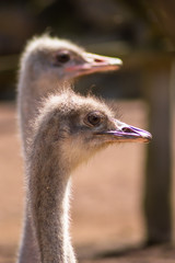 Two ostrich heads close up