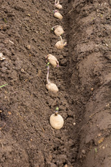 Seed potatoes in a prepared trench on an allotment