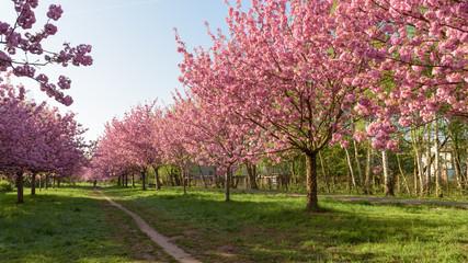 Blühende Kirschbäume in Parkanlage zum Sonnenaufgang