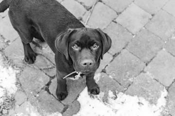 labrador black and white
