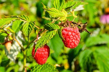 Raspberries on a bush on summer