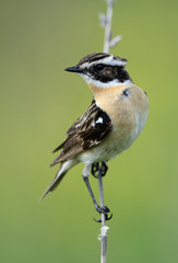 Whinchat  sits on a plant