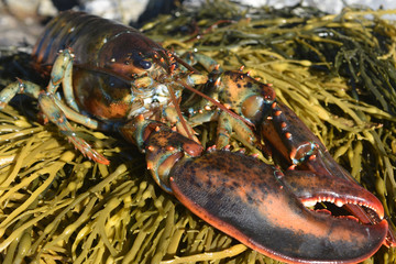 Beautiful photo of an atlantic lobsterwith large claws