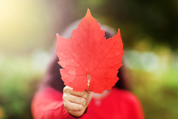 Canada Day picture of red maple leaf in the hand of girl. Young girl with the red maple leave in shape and color of Canadian flag. Girl holding maple leaf during holiday of Happy Canada Day.