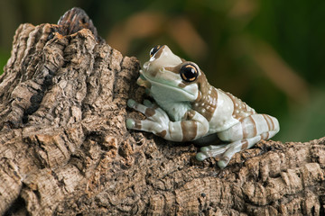 Amazon Milk Frog (Trachycephalus resinifictrix)/Amazon milk frog perched on thick branch