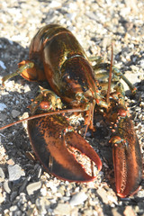 Large maine lobster walking on a rocky coast