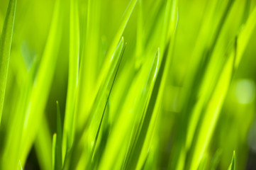 Abstract background of a spring grass backlit by sunlight