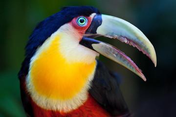 In de dag Toekan Big Toucan in tropical forest of Brazil, closeup portrait.