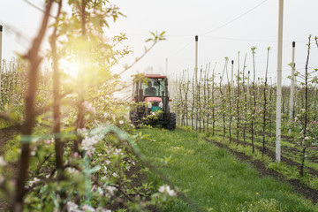 Tractor working in an apple orchard. Spraying blossoming flower trees.