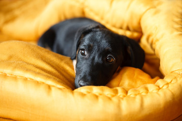 puppy dog in bed