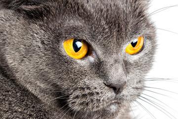 Serious British Gray Cat Closeup