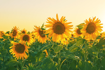 Large yellow sunflower flowers on an agricultural field on a sunset background
