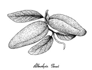 Hand Drawn of Fresh Atherolepis Pierrei Fruits