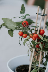 Cluster of small cherry tomatoes on the vine