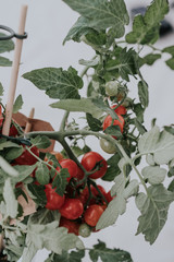 Potted tomato plant laden with ripening fruit