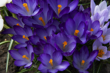 purple crocuses in sunny day