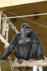 portrait of a female gorilla climbed on a wooden platform