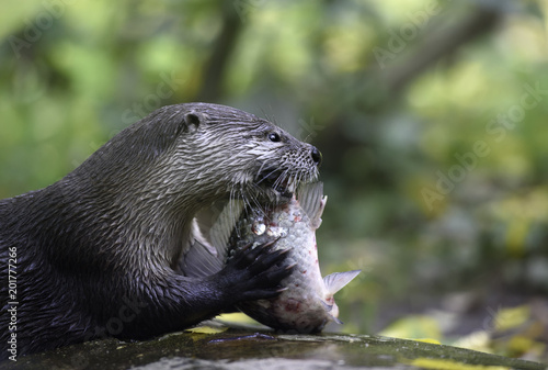 River Otter With Its Lunch Eurasian Common Otter Eats Raw Fish On A