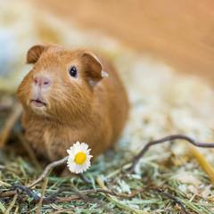 """California Meerschweinchen schenkt Blume und wünscht """"herzlichen Glückwunsch"""" zu einem entsprechenden Anlass"""