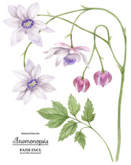 Watercolor illustration Anemonopsis