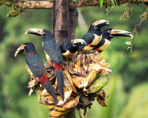 Five Collared Aracaris perched on a bunch of banannas