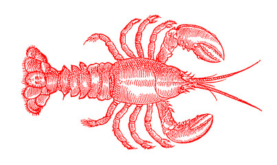 Red colored lobster (homarus) in top view. Illustration after a historic or vintage woodcut engraving from the 16th century
