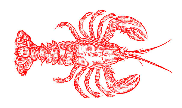 Red colored American lobster, homarus americanus, the popular seafood in top view. Illustration after an antique woodcut engraving from the 16th century