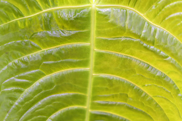 Tropical decorativ plant foliage, texture. Macro photo of fresh leaf , natural pattern, exotic botanical background