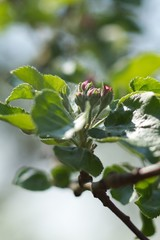 Apple tree, apple blossom twig in spring, spring background.