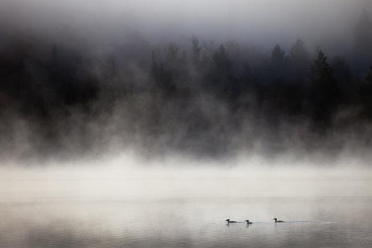 Lake in fog with three ducks (mergansers) on the foreground. Lax Lake, Minnesota, USA.
