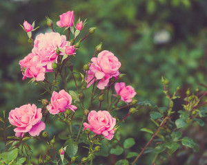 Bush, Pink Roses, Retro style, Outdoors