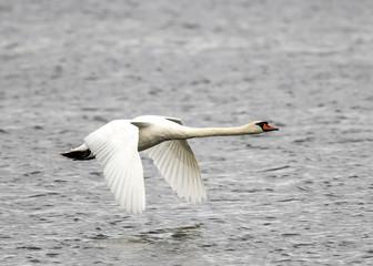 mute swan,Cygnus olor on lake