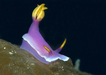 Giant hypselodoris apolegma nudibranch ( Risbecia apolegma ) crawling on coral of Bali. Indonesia