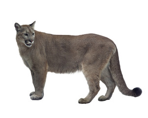 Photo sur Aluminium Puma Florida panther or cougar