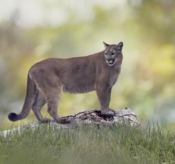 Printed kitchen splashbacks Puma Florida panther or cougar