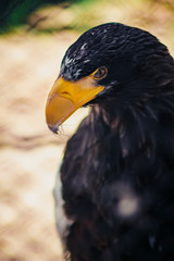 Steller's sea eagle, close up shot with blurred background. Formidable a bird. Angry look