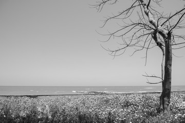 dead wood in garden front of rhe sea in black and white styles