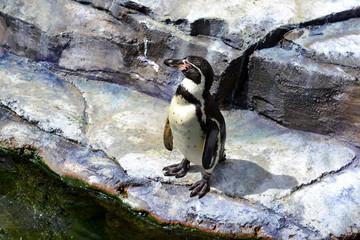 Lonely Penguin Looking Around Rocks