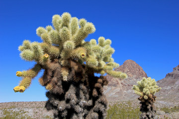 Teddy Bear Cactus, Cylindropuntia Bigelovii, with Yellow Flowers, Route 66 Oatman, USA