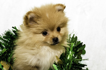 Tan Pomeranian Puppy Wrapped up in a Green and Gold St. Patrick's Day Garland