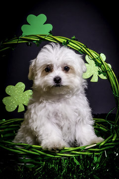 Fluffy White Maltese Puppy Standing in a Green St. Patrick's Day Basket with Shamrocks