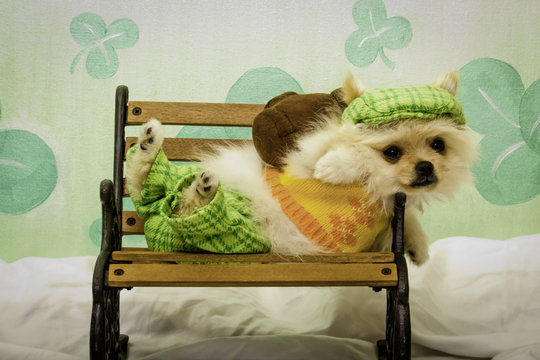 Tan Pomeranian Puppy Dressed in an Irish Golfing Outfit Lying on a Tiny Bench in Front of a Glittery Shamrock Background for St. Patrick's Day