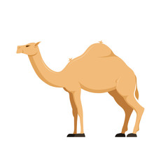Camel in full growth. Mammal, family camelids, group cloven-hoofed animals.