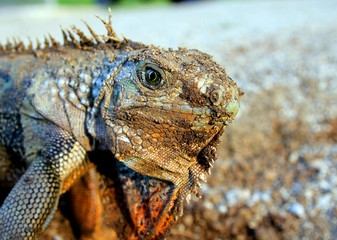 Puerto Rican Iguana Mama digging a nest on Vieques Island